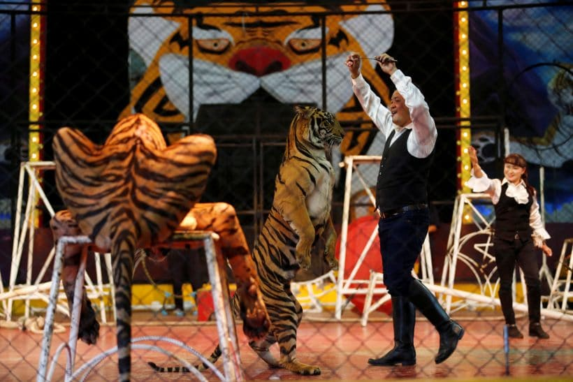 A trainer plays with a tiger during a performance for tourists at the Sriracha Tiger Zoo, in Chonburi province